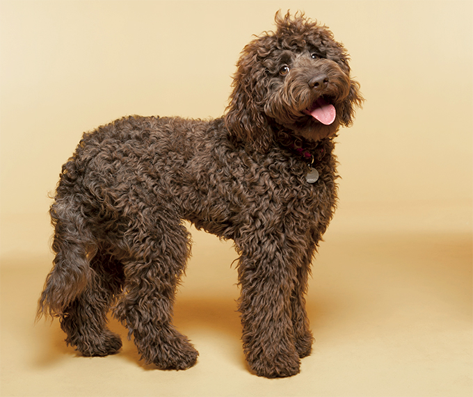 Labradoodle standing up